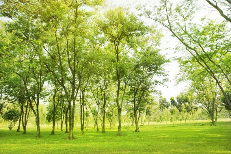 Blured photo Green trees and gardens Beautiful light in the morning royalty free stock photos