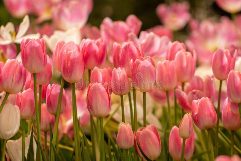 Blurgerde, mooie roze tulpenbloem in de natuur Bloemen zachte blauwe kleuren zoete toonachtergrond stock afbeeldingen