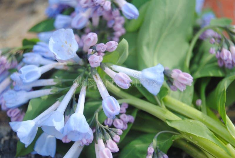 BLURPLE rzeki RZADCY kwiaty obraz stock
