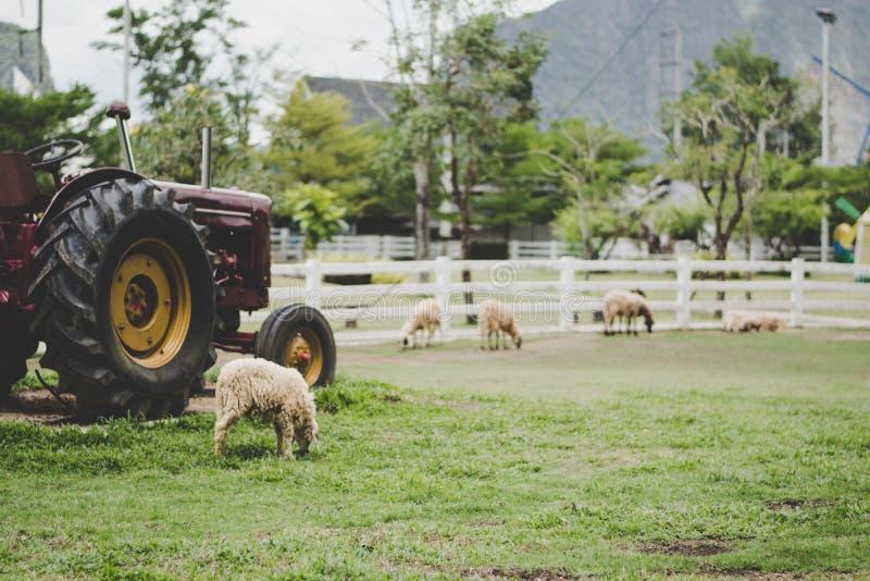 Blurr sheep eating grass in farm near tracktor vintage filter. Blurr background sheep eating grass in farm near tracktor vintage filter royalty free stock photos