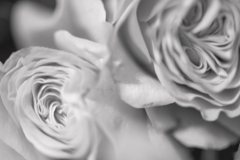 Blurred abstract floral background whis Beautiful delicate roses flowers close up picture. Macro shot, defocused photo. Black and white image bouquet spring royalty free stock image