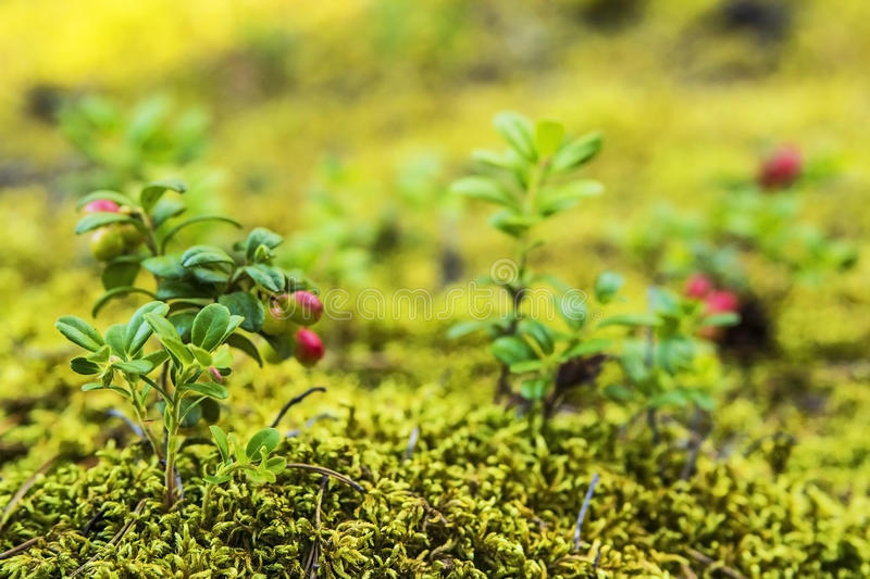Blurred background berry cranberries in moss royalty free stock photography