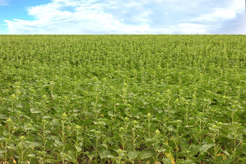 Blurred background of green field of a growing young sunflower stock photography
