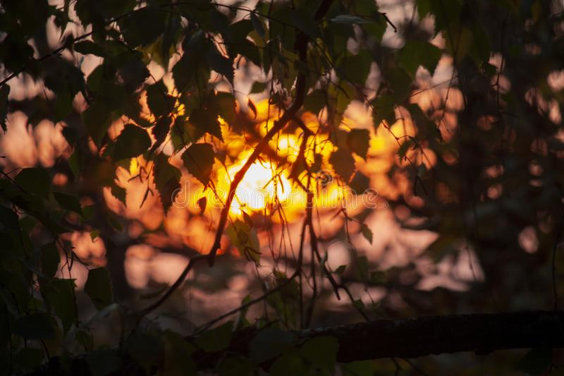 Blurred background, the rays of the evening sun through the trees, birch leaves. Blurred background , the rays of the evening sun through the trees, design stock images