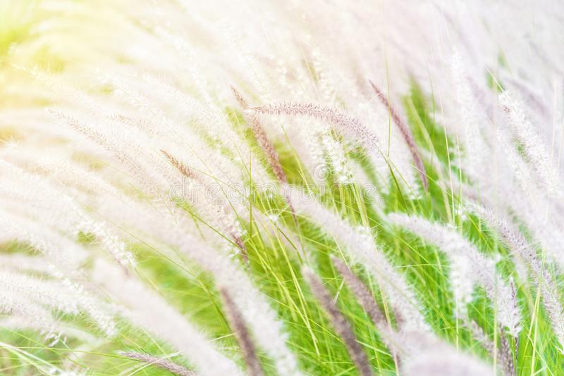 Blurred Beautiful African fountain flower grass move on the wind in the grassland, Blurry meadow flowers on the grass field stock images