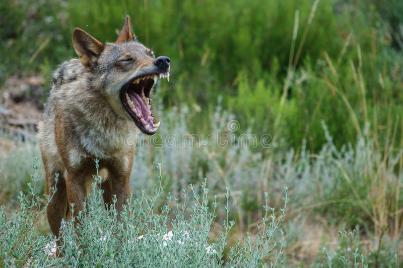 Blurred Canis Lupus Signatus opening mouth royalty free stock photos
