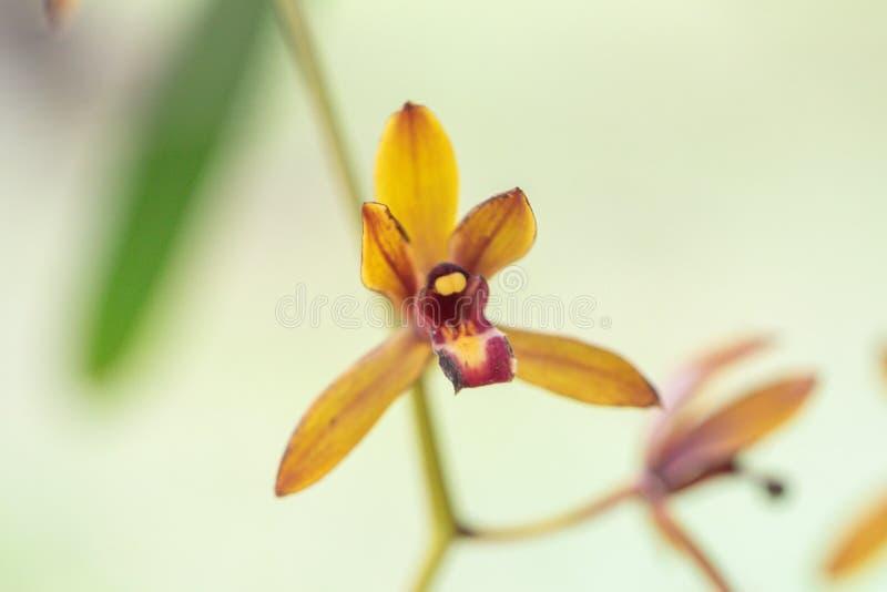 Blurred close up Cymbidium aloifolium orchid flower.Common Name The Aloe-Leafed Cymbidium plant. stock images