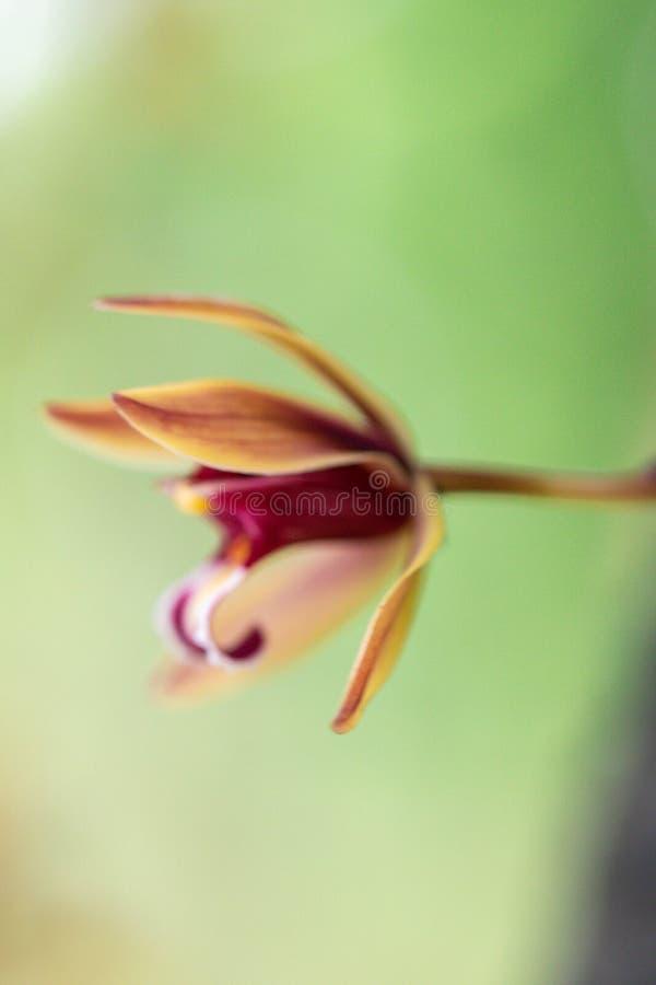 Blurred close up Cymbidium aloifolium orchid flower.Common Name The Aloe-Leafed Cymbidium plant. stock photography