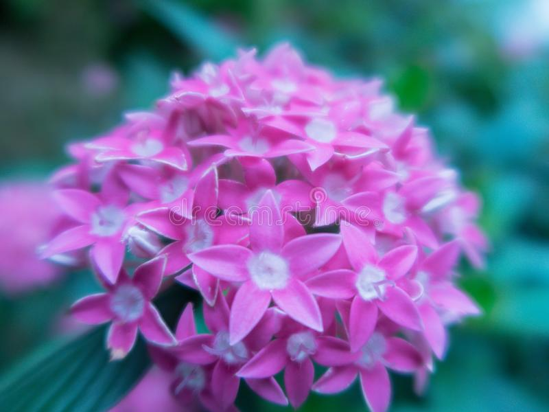 Blurred close up Lucky Star Deep Pink flower or Cornus sanguinea in the garden. royalty free stock photo