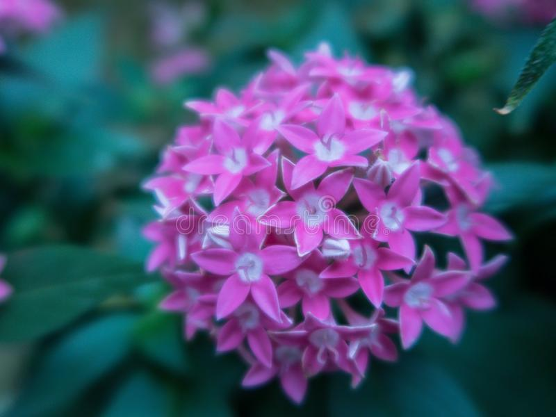 Blurred close up Lucky Star Deep Pink flower or Cornus sanguinea in the garden. royalty free stock image