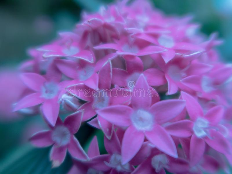 Blurred close up Lucky Star Deep Pink flower or Cornus sanguinea in the garden. stock image