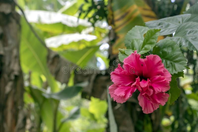 Blurred close-up of pink Hibiscus flower in the garden with copy space. Blurred natural background with bright pink tropical flower : Close up of pink Hibiscus stock image