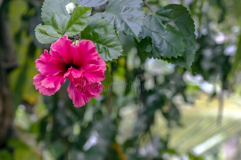 Blurred close-up of pink Hibiscus flower in the garden with copy space. Blurred natural background with bright pink tropical flower : Close up of pink Hibiscus royalty free stock photos