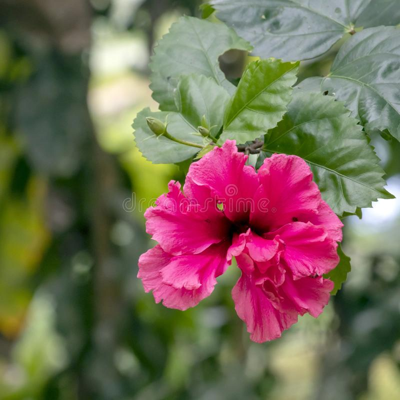 Blurred close-up of pink Hibiscus flower in the garden with copy space. Blurred natural background with bright pink tropical flower : Close up of pink Hibiscus royalty free stock images
