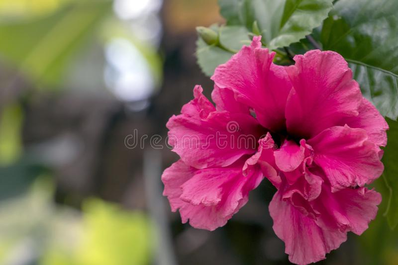 Blurred close-up of pink Hibiscus flower in the garden with copy space. Blurred natural background with bright pink tropical flower : Close up of pink Hibiscus royalty free stock photography