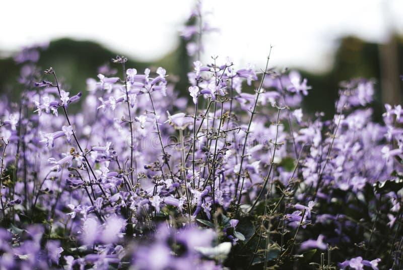 Blurred closeup image background of Fresh lavender flower plants Lavandula angustifolia. royalty free stock photos