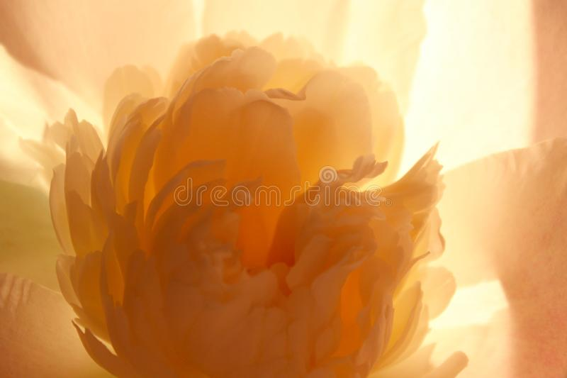 Blurred Cropped Shot Of A Pink Flower. Peony Flower, Close Up. Floral Pattern With Light Pink Peony Flower.Soft Pattern Of Flower. Blurred Nature Background royalty free stock photo