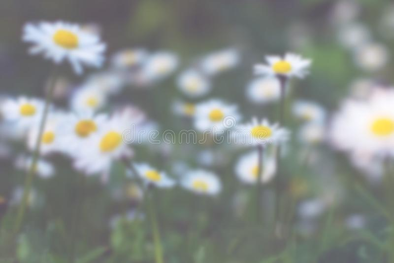 Blurred meadow of daisies for summer floral background stock photos