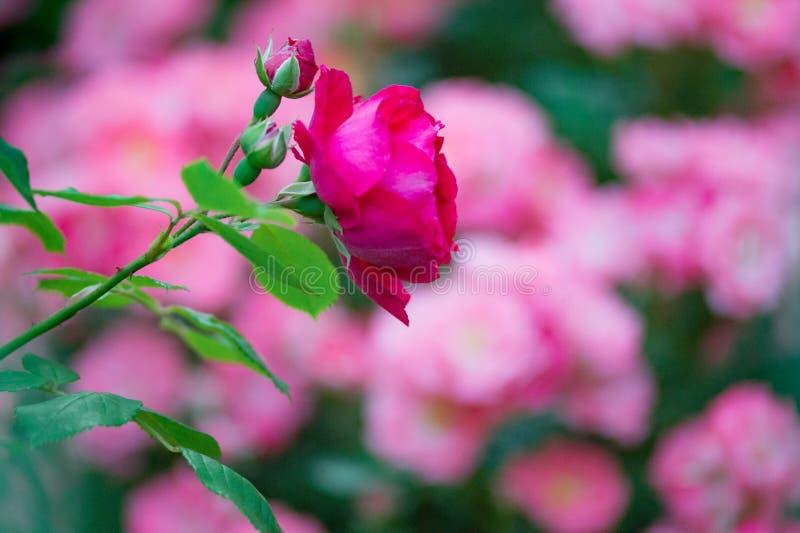 Blurred flowering garden roses as background stock image