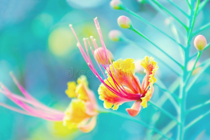 Blurred flowers. Tropical flower background. Caesalpinia pulcherrima, Peacock's crest, Barbados Pride. Photo with shallow depth of focus. Abstract blurred stock image