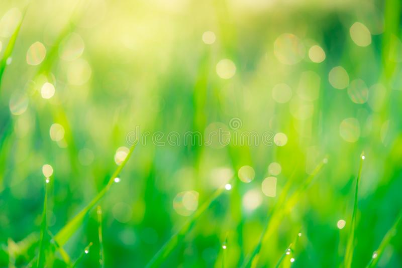 Blurred fresh green grass field in the early morning with morning dew. Water drop on tip of grass leaves in garden. Green grass stock images