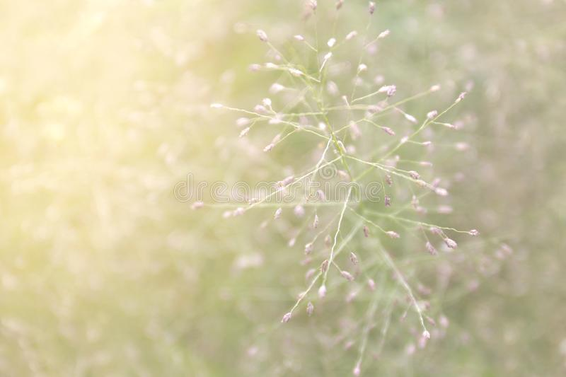 Blurred grass nature, soft grass flowers fresh for background, small grass meadow blur in sun light morning day, natural flower royalty free stock image