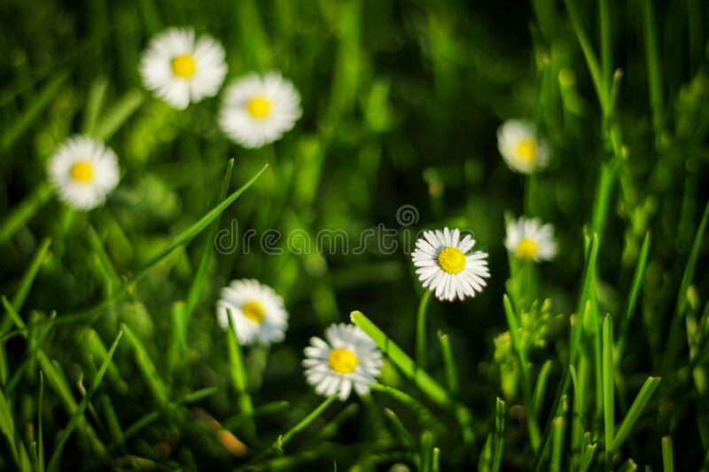 Blurred Green background of daisies royalty free stock image