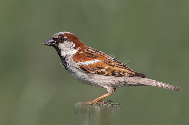 Extreme close up of Male House Sparrow on wooden post in green grass field. Blurred green background and foreground with focused sparrow closeup in center royalty free stock photo