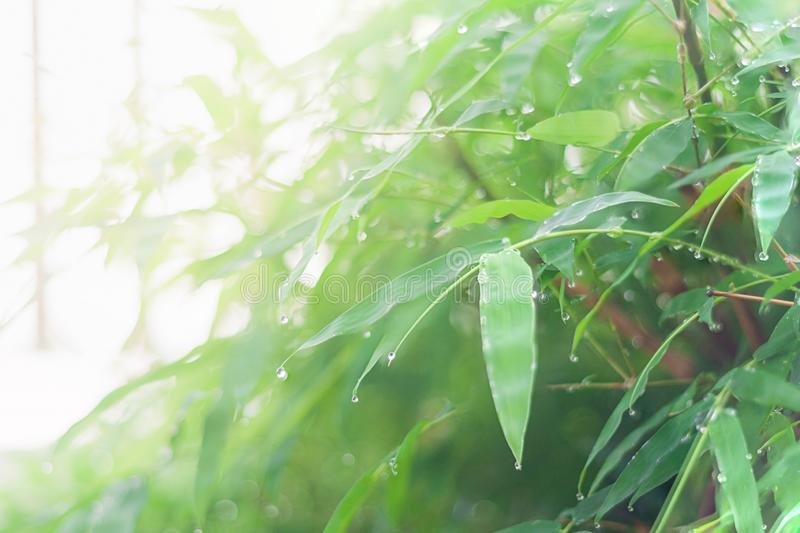 Blurred green bamboo leaf with water drop background in Morning summer season. Nature royalty free stock photo