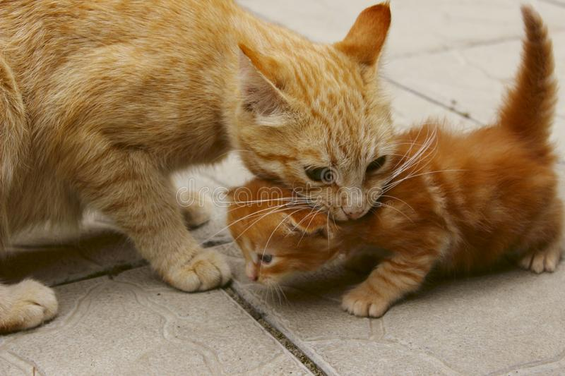 Blurred image of a ginger cat holding a little kitten in the mouth. Animals, pets, family concept. stock images