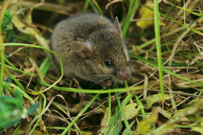 Blurred image of gray little mouse. Animals, rodent, wildlife concept. Gray mouse outdoor stock image
