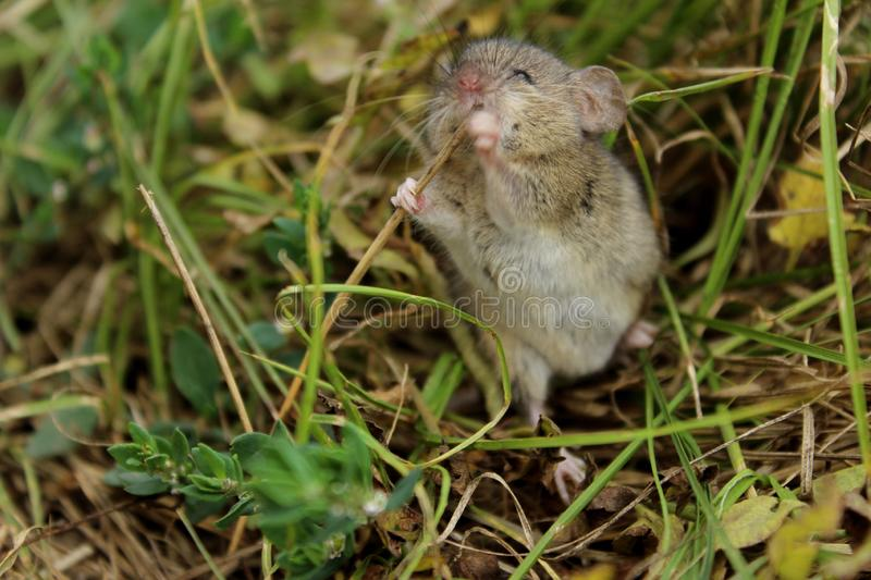 Blurred image of gray little mouse. Animals, rodent, wildlife concept. Gray mouse outdoor royalty free stock photos