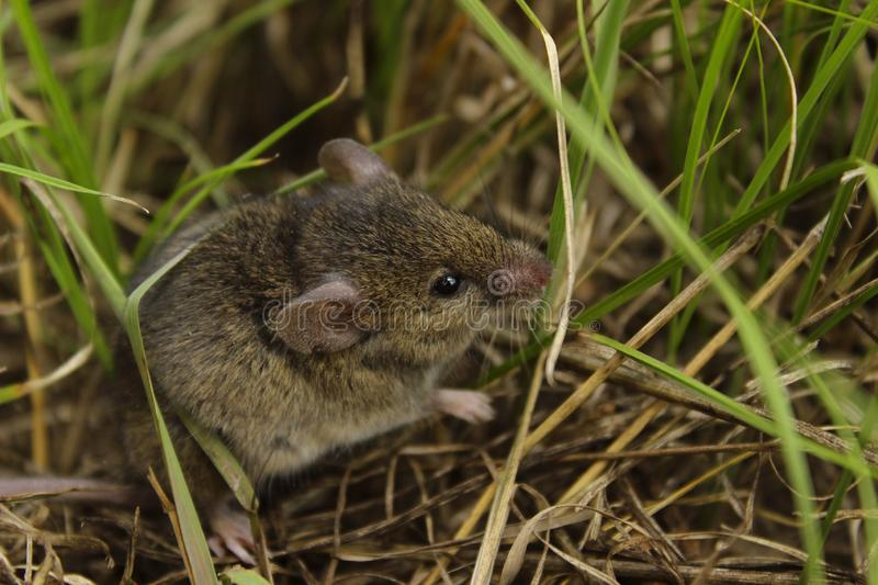 Blurred image of gray little mouse. Animals, rodent, wildlife concept. Gray mouse outdoor stock photo