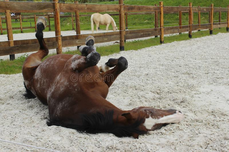 Blurred image of playing horse. Horse tumbles in the sand. Dapple-chestnut stallion. royalty free stock images