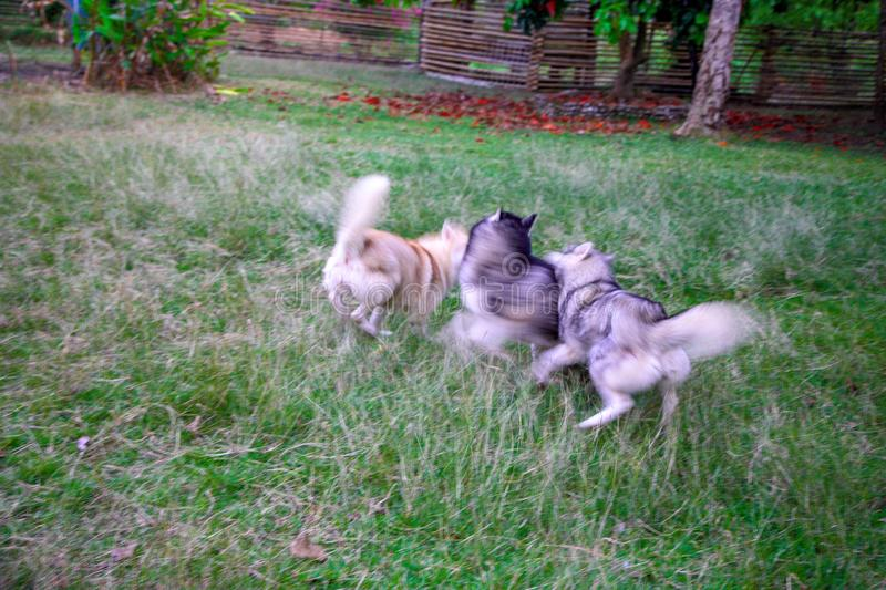 Blurred image of three siberian huskies running and chasing with one another. stock photo
