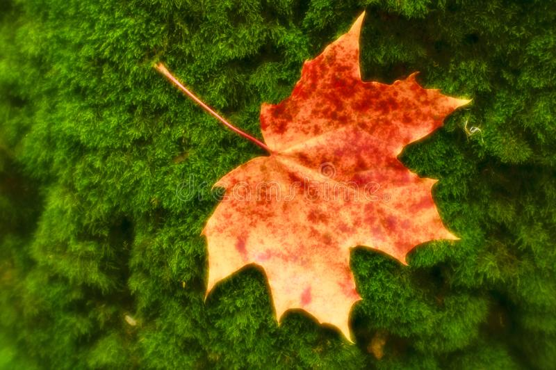 Blurred. Maple leaf reddish yellow lies on the green moss of the tree trunk. Photos were taken on soft lens royalty free stock photo