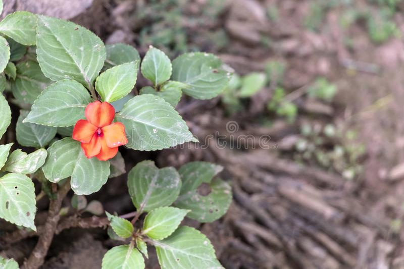 Blurred Nature background with tropical flowers, lonely Red Flower blooming in the forest royalty free stock photo