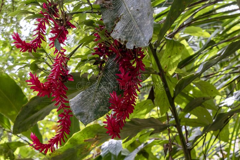 Blurred nature background with tropical red ginger flower and copy space stock photo