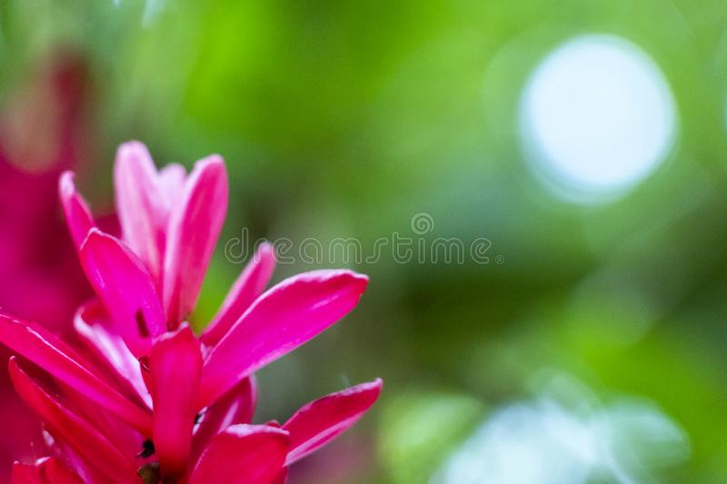 Blurred nature background with tropical red ginger flower and copy space royalty free stock photography