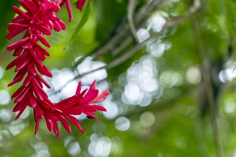 Blurred nature background with tropical red ginger flower and copy space stock photos