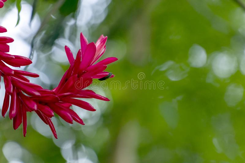 Blurred nature background with tropical red ginger flower and copy space stock photography