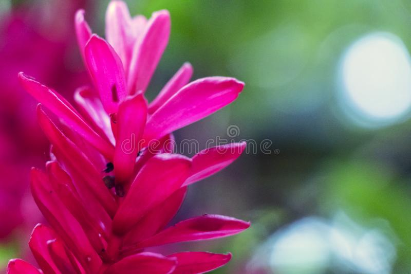 Blurred nature background with tropical red ginger flower and copy space royalty free stock photo
