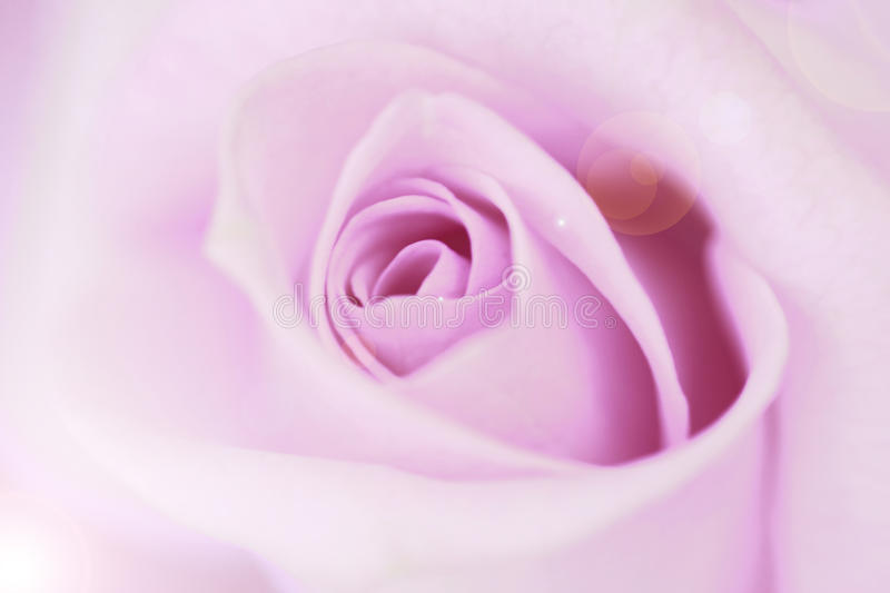 Blurred pale purple rose and light flare background.  royalty free stock photo