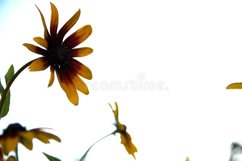 Blurred photo for the background with a group of yellow flowers of Rudbeckia through which the evening sunlight penetrates royalty free stock photos