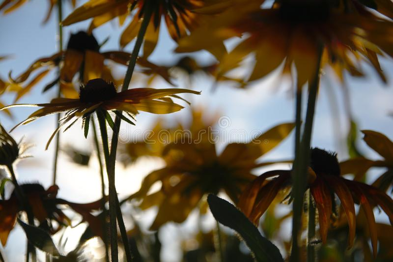 Blurred photo for the background with a group of yellow flowers of Rudbeckia through which the evening sunlight penetrates royalty free stock image