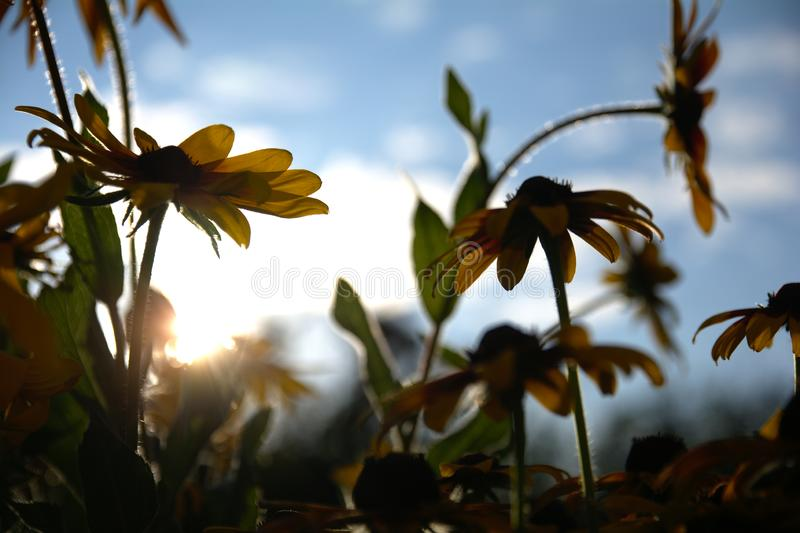 Blurred photo for the background with a group of yellow flowers of Rudbeckia through which the evening sunlight penetrates stock images