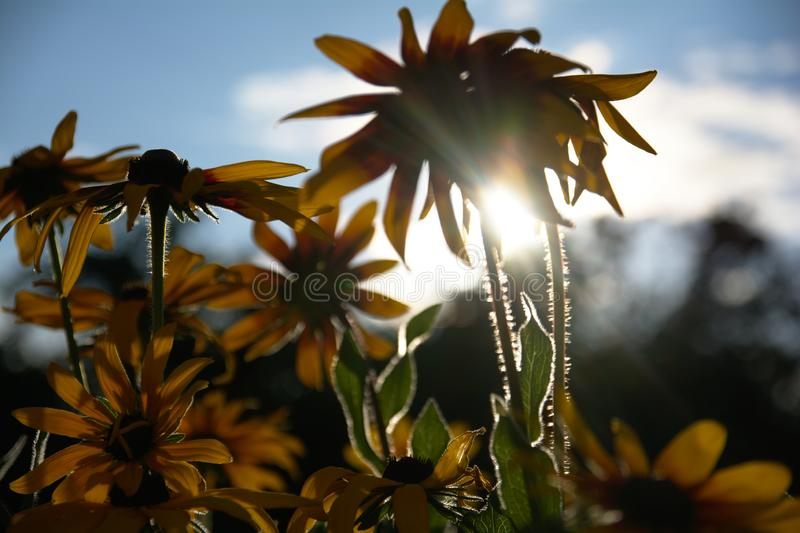 Blurred photo for the background with a group of yellow flowers of Rudbeckia through which the evening sunlight penetrates royalty free stock images
