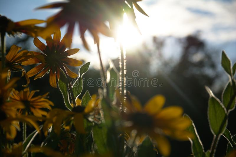 Blurred photo for the background with a group of yellow flowers of Rudbeckia through which the evening sunlight penetrates royalty free stock photo