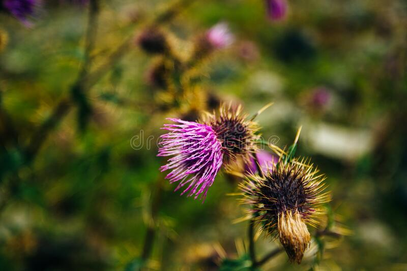 Blurred pink Blessed milk thistle flower, close up, shallow dof.  royalty free stock photos