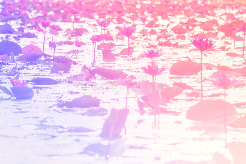 Blurred Pink Lotus in lake at thale noi, Phatthalung, Thailand.(. Defocused style stock images
